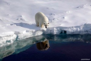 A polar bear walking along the edge of 'the ice bridge' in the Robeson channel, at 82.4 north, near the border between Greenland and Canada. This is the southernmost extent of the summer sea ice which usually extends much further south into the Nares Strait, it has receded dramatically in recent years. Greenpeace and leading climate scientists are in Greenland for a 3 month expedition using their icebreaking ship the Arctic Sunrise to gather climate change data for the Copenhagen climate summit in December 2009.