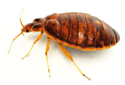 bed-bug-rendering-side