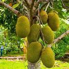 jackfruit-growing